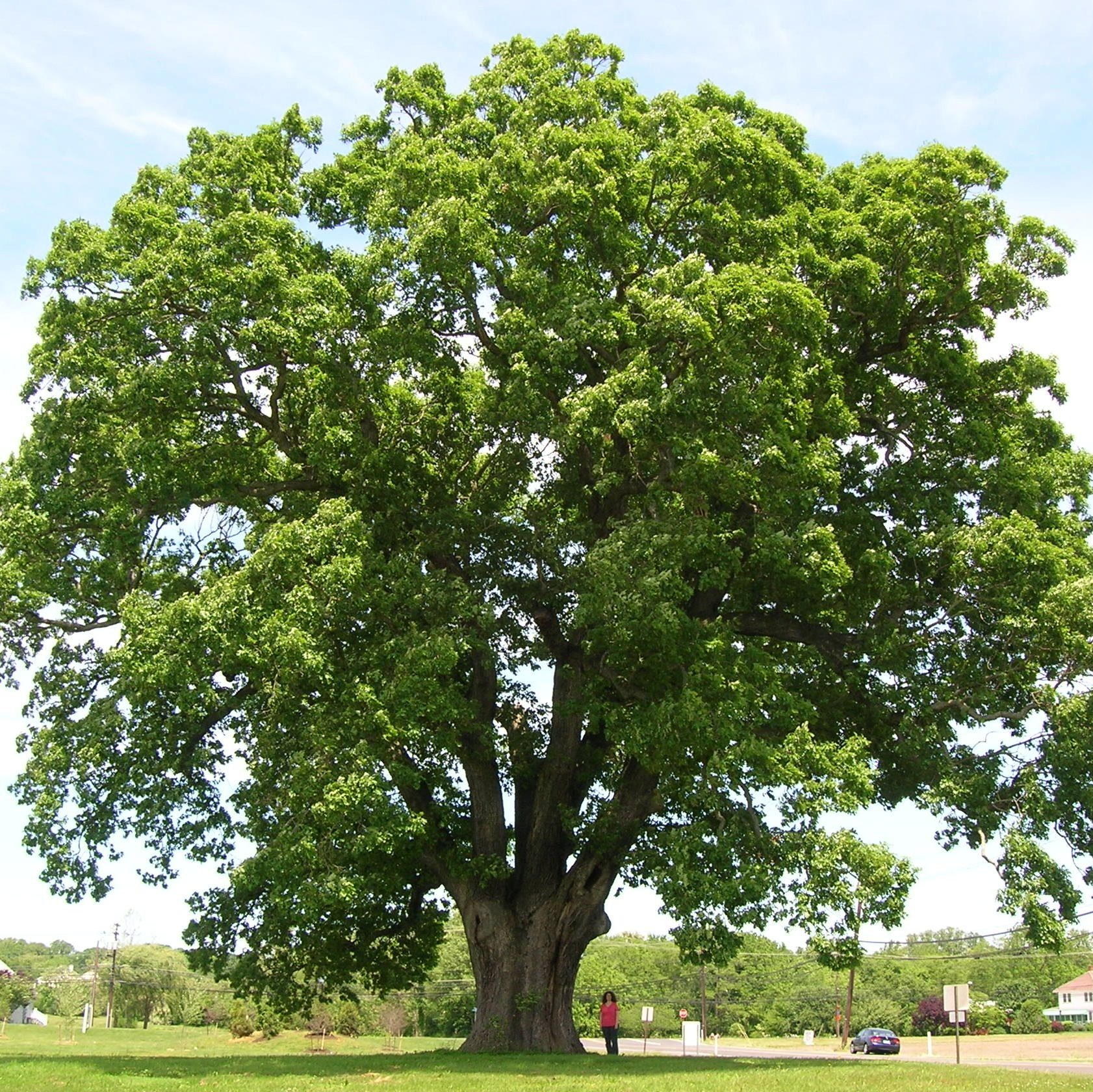 white oak tree - large species