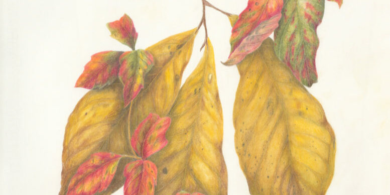 Thomas_3_Plants_colored_pencil